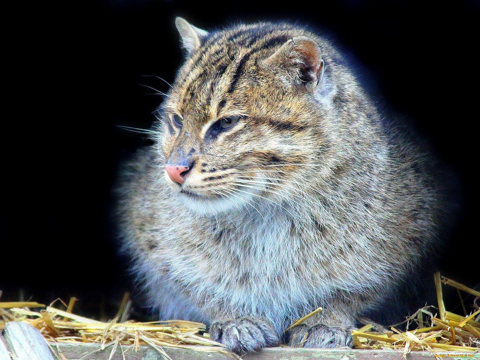 Животные дикие кошки ушки взгляд
